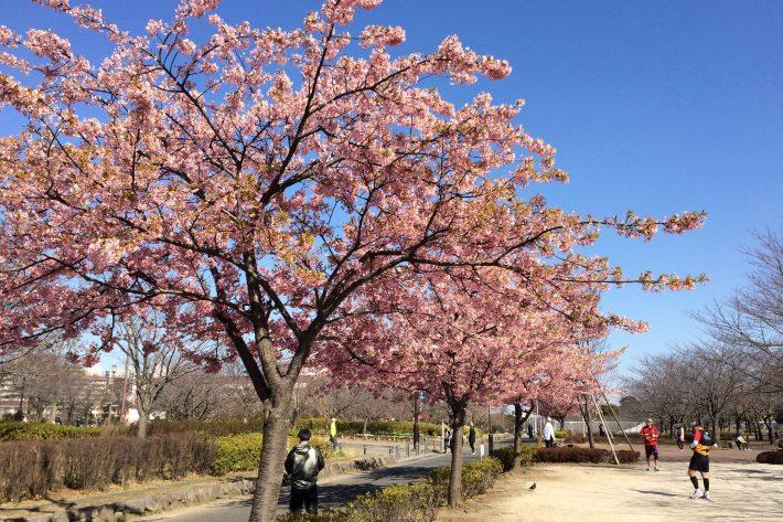 会場の大島小松川公園には河津桜が咲いていました。